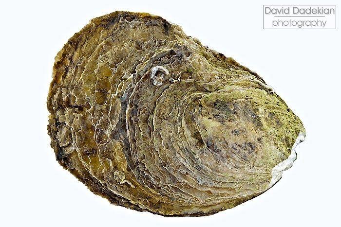 Wellfleet Oyster shell